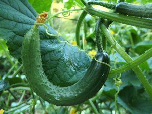 komkommer-voedselverspilling